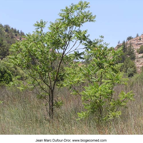 poison sumac tree. Sumac+tree+leaves